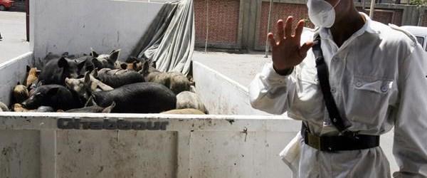 Mısır'da domuz gribinden 44 kişi öldü
