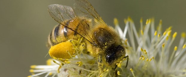 Toplu arı ölümlerinden 'cep' sorumlu
