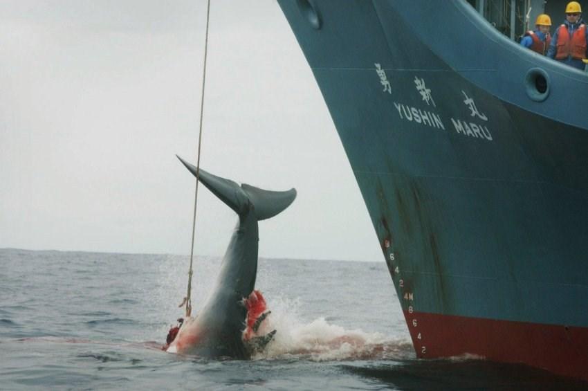 Yasağa rağmen balina katliamı başlayacak