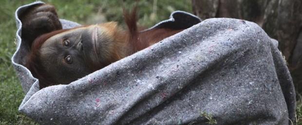 Üşüyen orangutanlara battaniye servisi