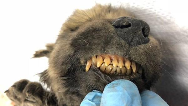18 bin yıllık kalıntı bilim dünyasını ikiye böldü: Köpek mi kurt mu?
