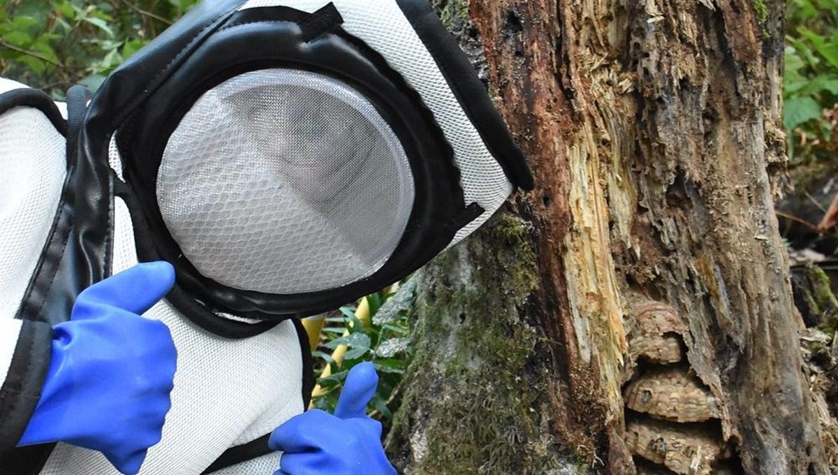 ABD'de 2021'in ilk katil eşek arısı yuvası yok edildi