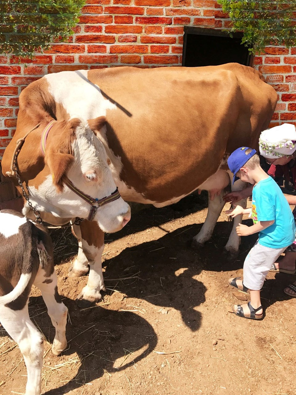 Çocuklar ineklerden süt sağmayı en doğal yollarla öğrendi.