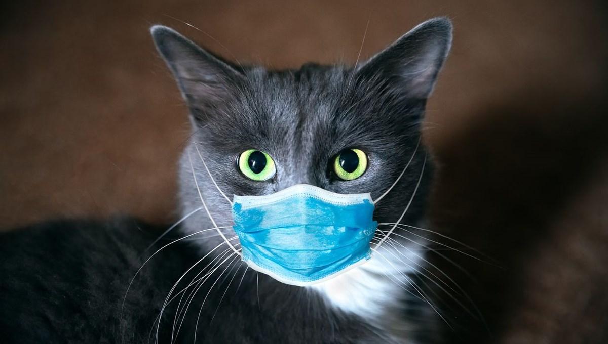 Danimarka'da Covid-19'a rastlanan kediler itlaf edildi