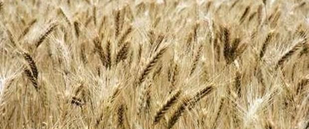 Buğdaya ton başına 500 lira ödenecek
