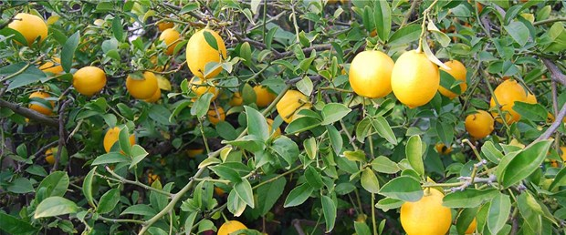 limon-agaci2-11-01-15