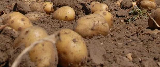 Patatesin fiyatında korkutan artış
