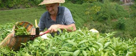 Yaş çay alım fiyatı 1.35 TL