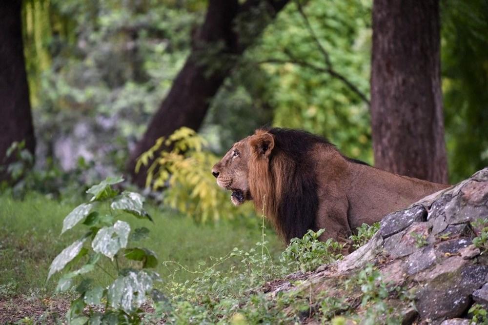 Hindistan'da Covid hayvanlara sıçradı, sekiz aslan virüse yakalandı - 6