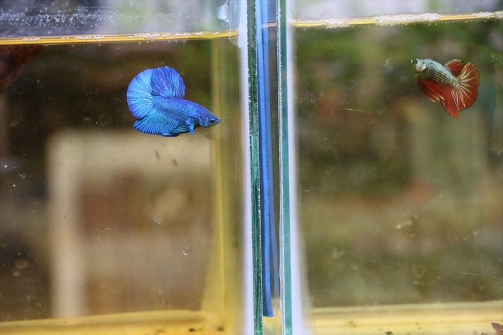 Betta balıkları yarışma için 'kuaförde' güzelleşiyor - 11