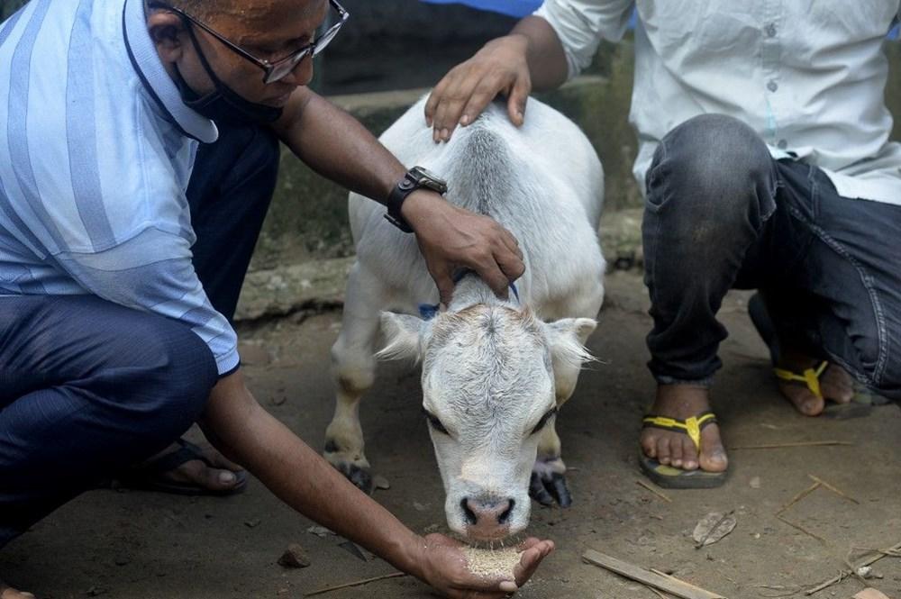 Binlerce kişi cüce ineği görmek için akın etti: Halk sağlığını tehdit ediyor - 13