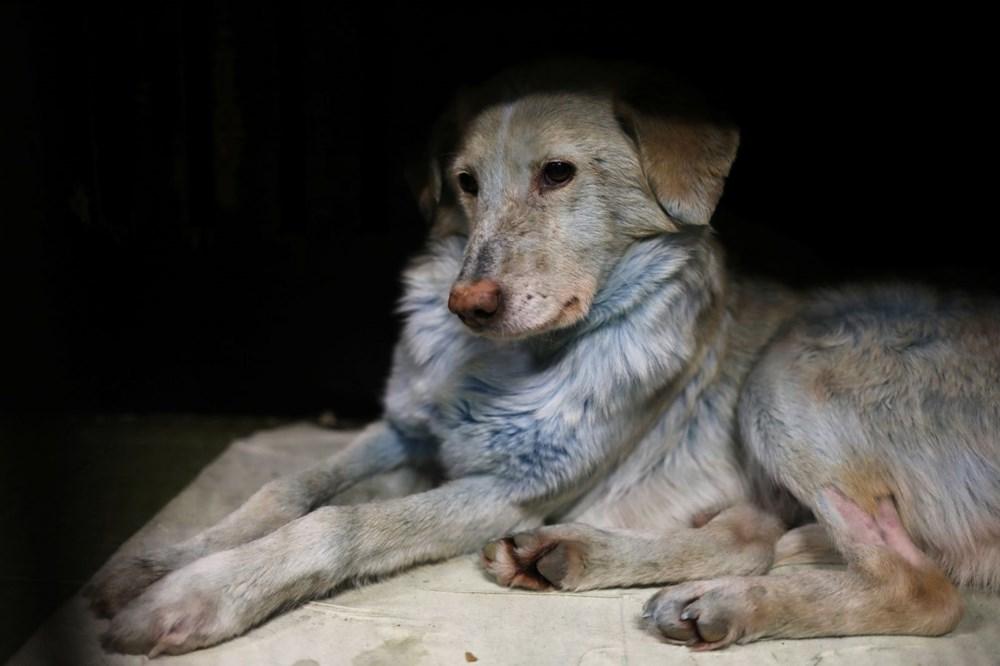 Rusya'da ortaya çıkan mavi köpeklerin gizemi çözüldü - 4