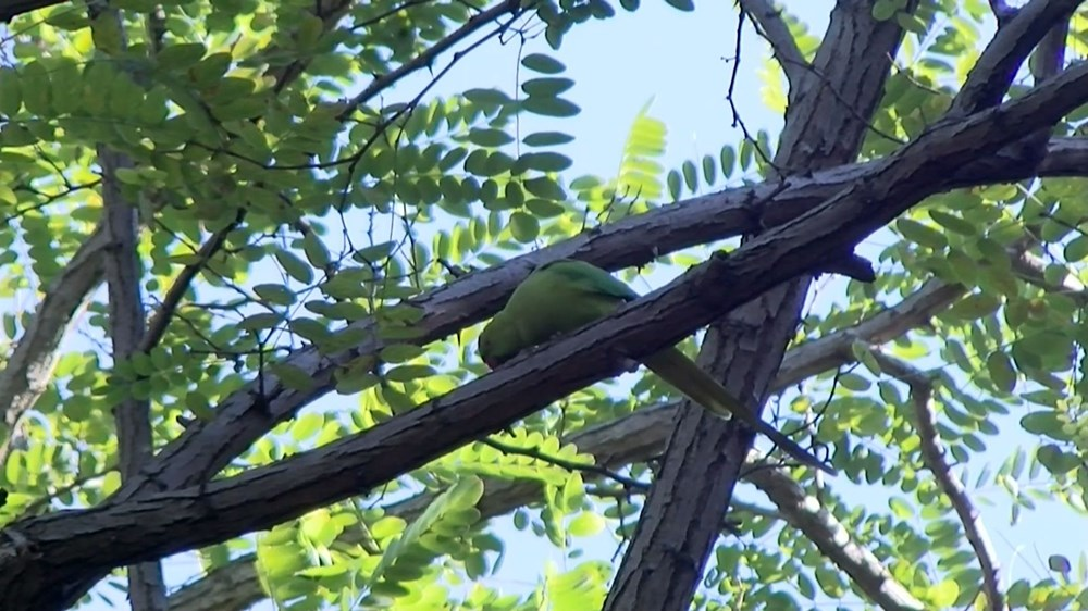 İstanbul'da yeşil papağan sayısı artıyor - 4