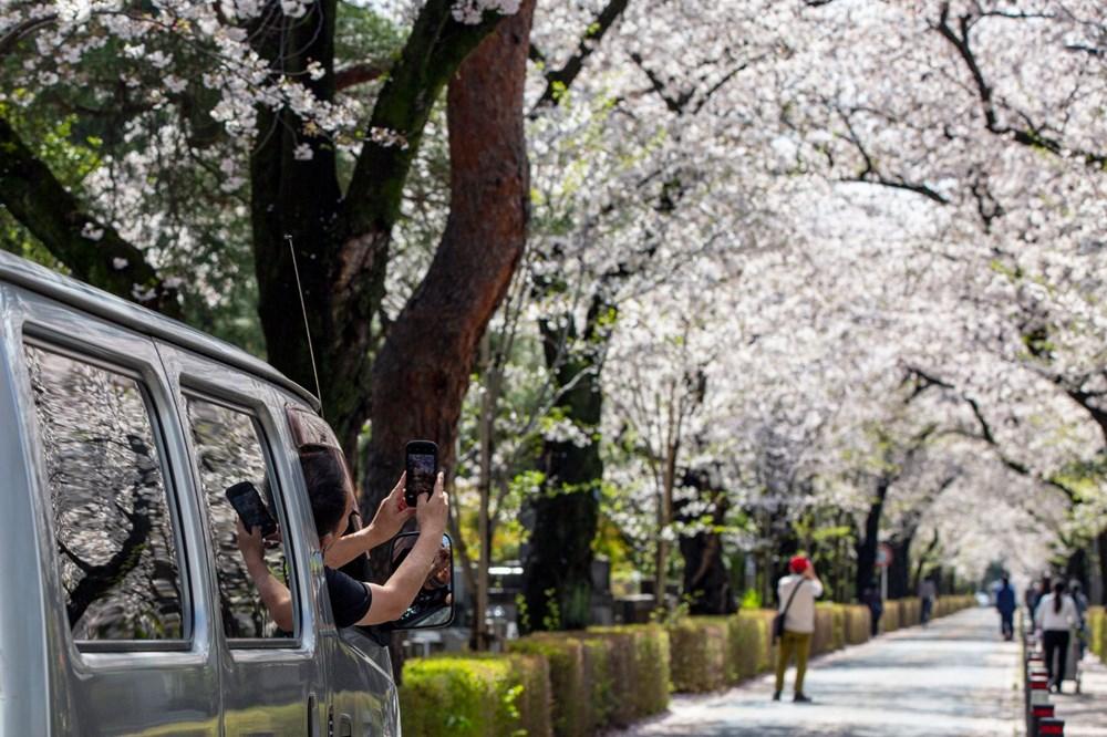 Sakura çiçekleri son bin 200 yıldır bu kadar erken açmadı: İklim değişikliği nedeniyle ekosistemler çökme noktasında - 4