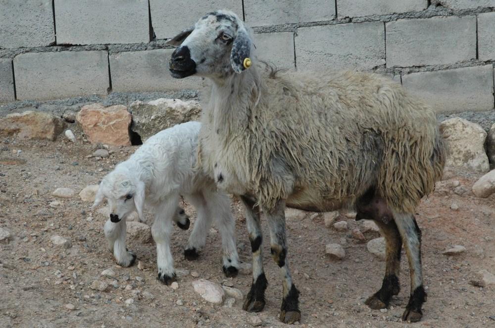 Diyarbakır'da 6 ayaklı doğan kuzu görenleri şaşırtıyor - 10