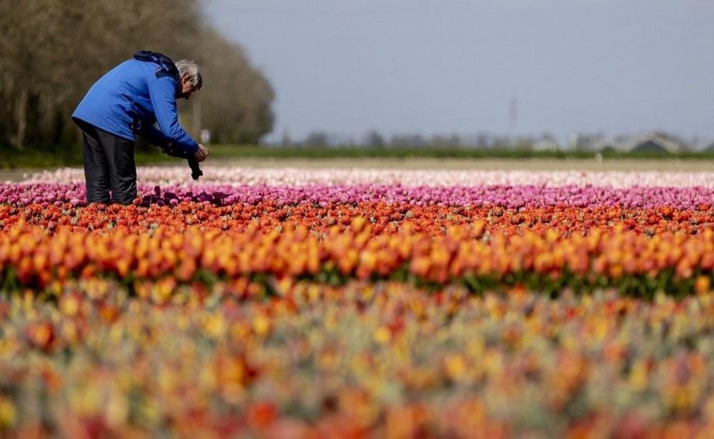 """Hollanda'da göz kamaştıran lale bahçeleri bu yıl """"sessiz"""" bir şekilde çiçek açtı - 7"""
