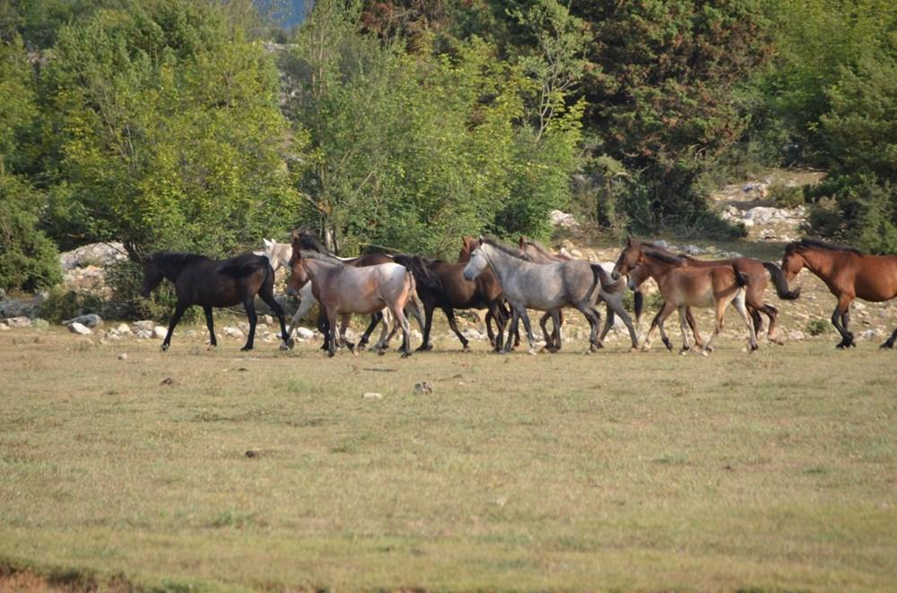 Soyları Osmanlı süvari birliğine dayanıyor! Torosların vahşi güzelliği 'Yılkı atları' - 10