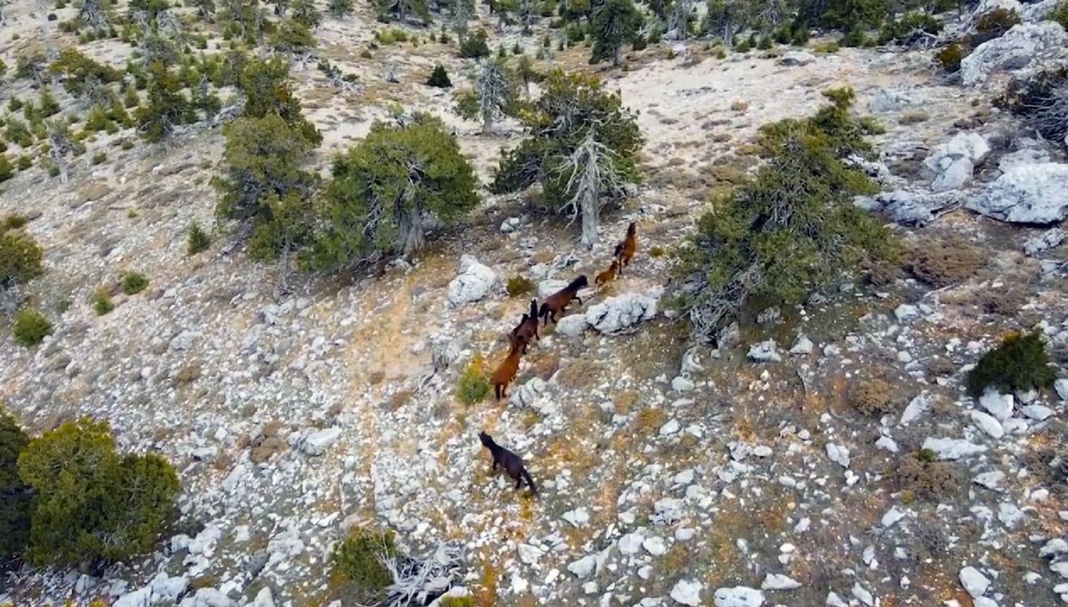 Year-old horses viewed with drone in Burdur