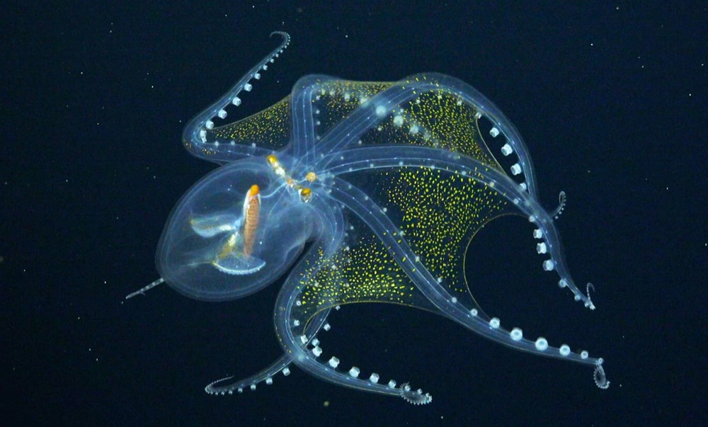 """rare in the ocean """"Glass Octopus"""" viewed - 2"""