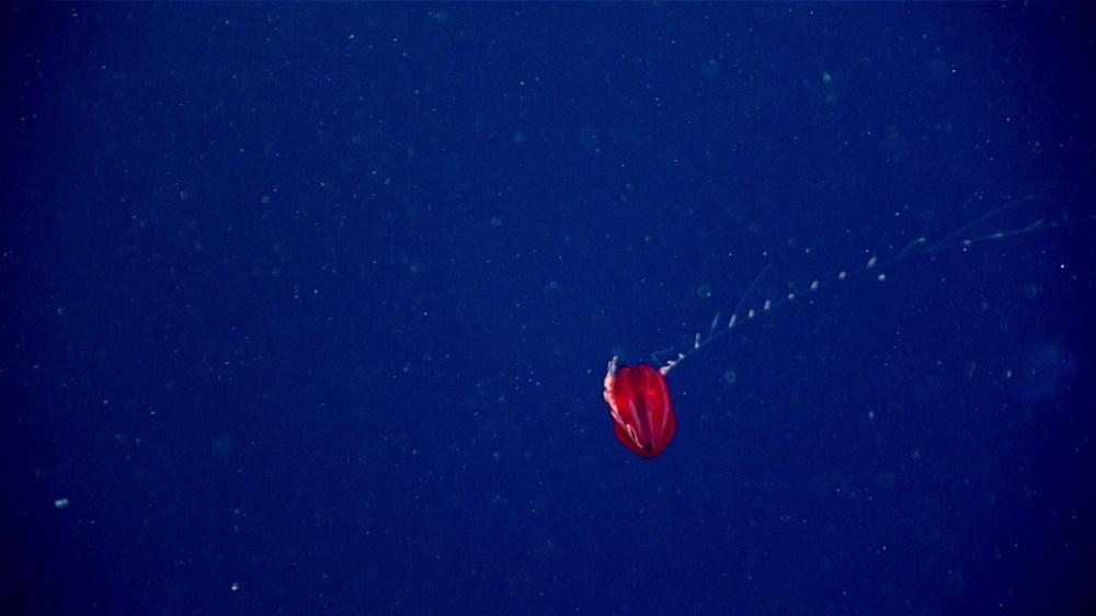 Okyanusun 700 metre altında yaşıyor: Kırmızı denizanası bilim insanları tarafından ilk defa gözlemlendi - 6
