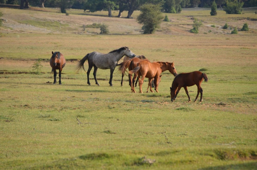 Soyları Osmanlı süvari birliğine dayanıyor! Torosların vahşi güzelliği 'Yılkı atları' - 8