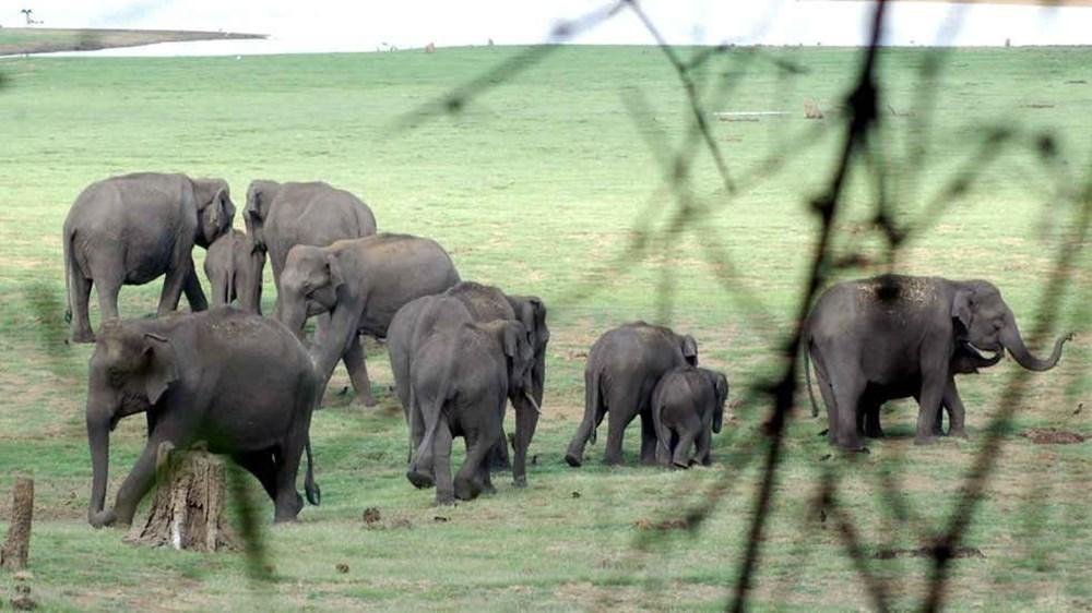 Hindistan'da bir aslanın Covid-19'dan ölmesinin ardından 28 fil corona virüse yakalandı - 7