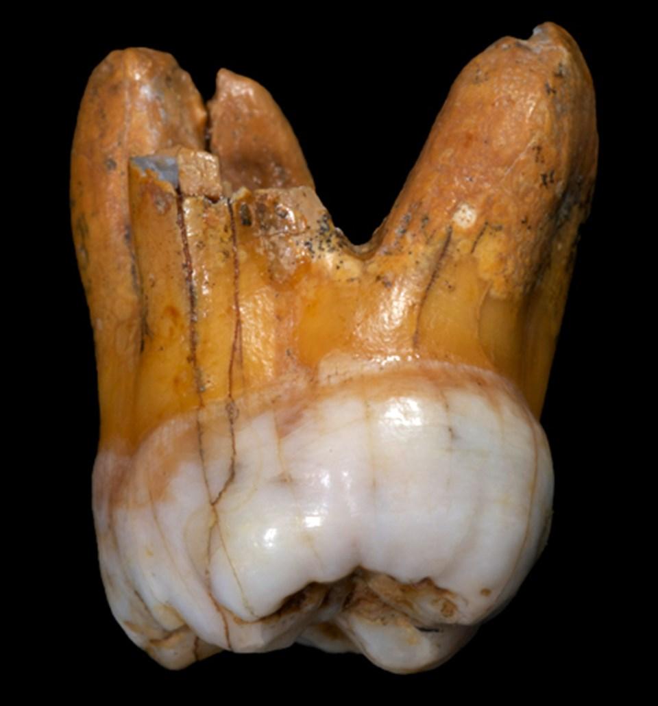 Denisovan mağarasında bulunan diş.