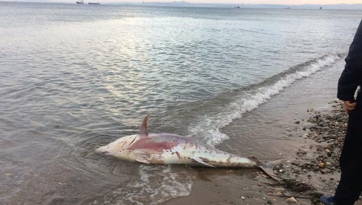 Yalova'da yaklaşık 2 metrelik ölü orkinos sahile vurdu