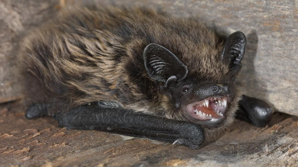 İsviçre'deki yarasaların, insanlarda hastalığa neden olabilecek onlarca virüse sahip olduğu ortaya çıktı - 6