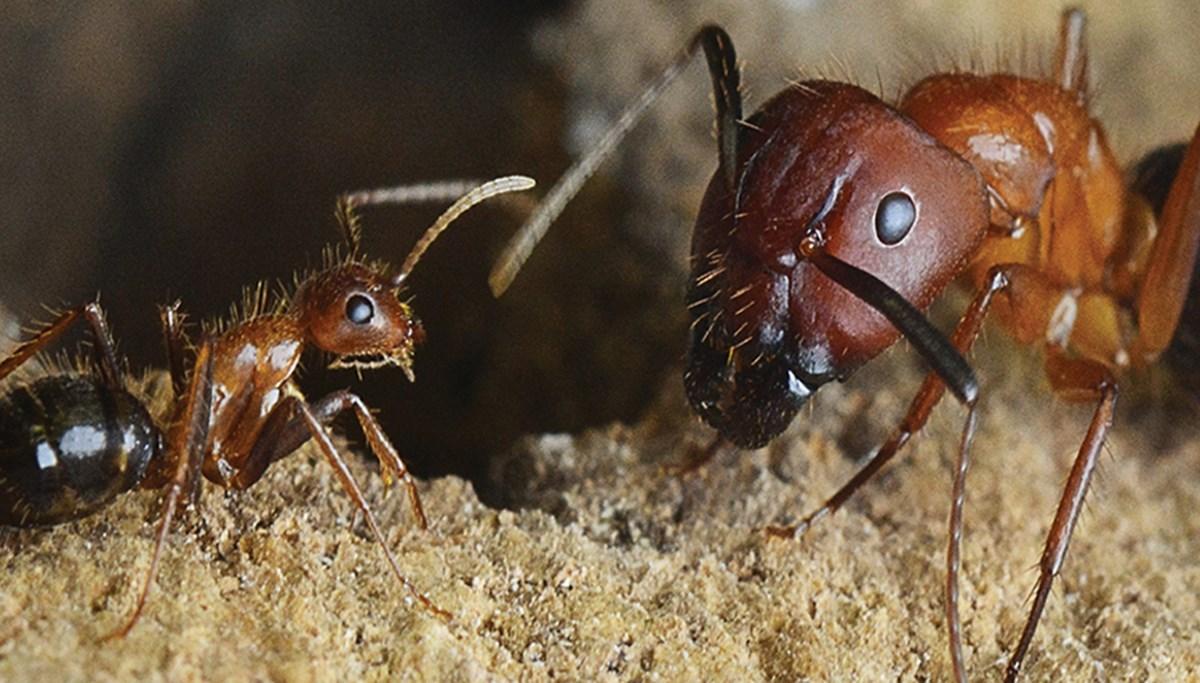 Beyninin boyutunu ayarlayabilen ilk böcek türü keşfedildi: Kraliçeleri olmadan hayatta kalabiliyorlar