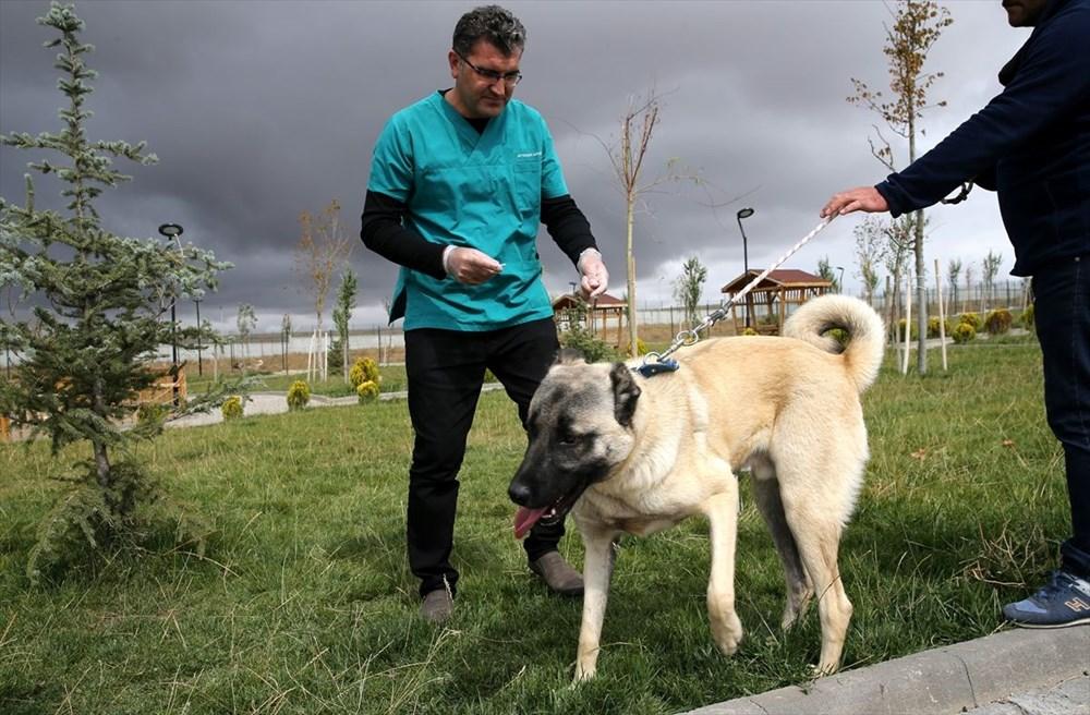 Sivas Kangal köpeklerinin genetiği çiple korunuyor - 5