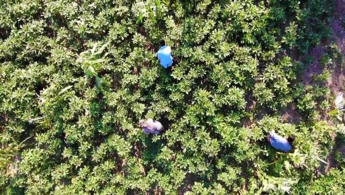 Tescilli 'çiçek bamyası'nın hasadı başladı