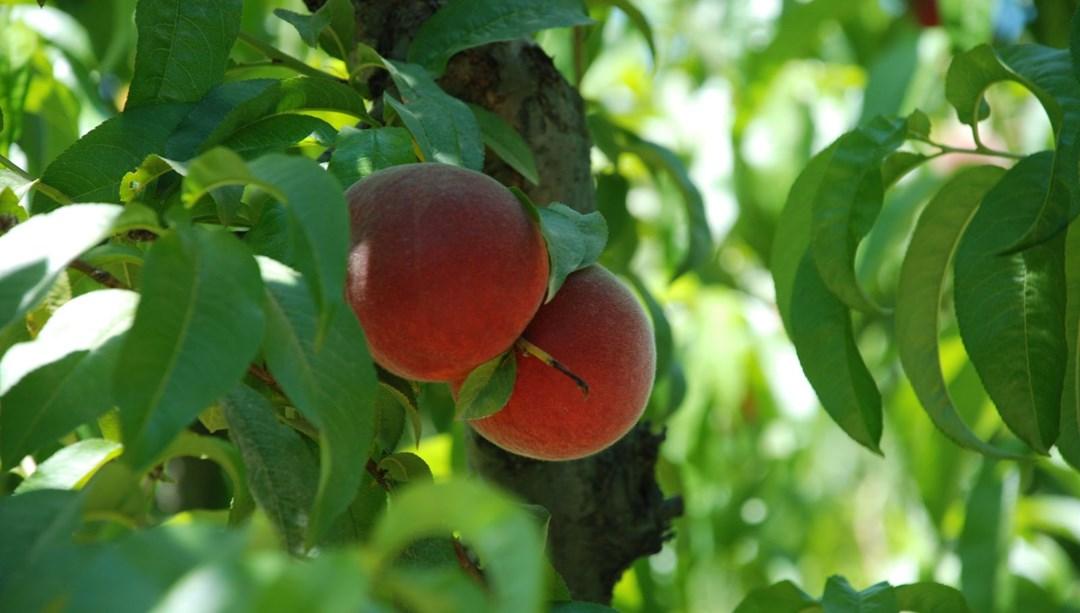 Şeftalide ilk hasat başladı (İhracatta artış bekleniyor) thumbnail