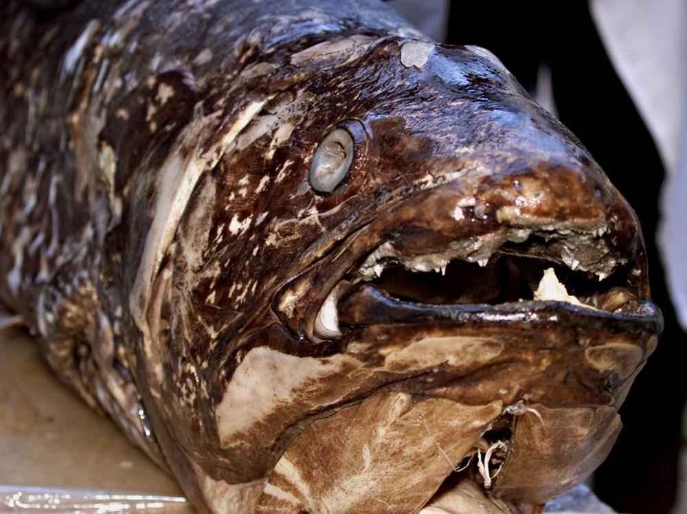 Yeni keşif: 'Yaşayan fosil' balık 100 yıl yaşıyor, hamileliği 5 yıl sürüyor - 6