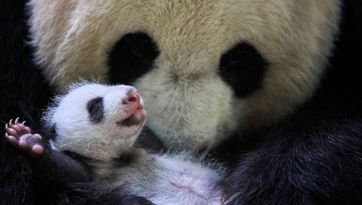 Çin'de doğan ikiz pandalar dünyanın ilgi odağı oldu