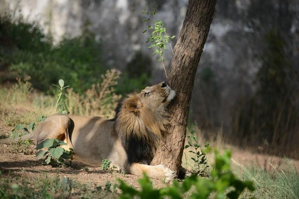 Hindistan'da Covid hayvanlara sıçradı, sekiz aslan virüse yakalandı - 4