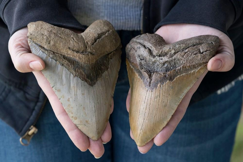 Megalodon köpekbalığının gerçekboyutları ilk kez ortaya çıkarıldı - 6