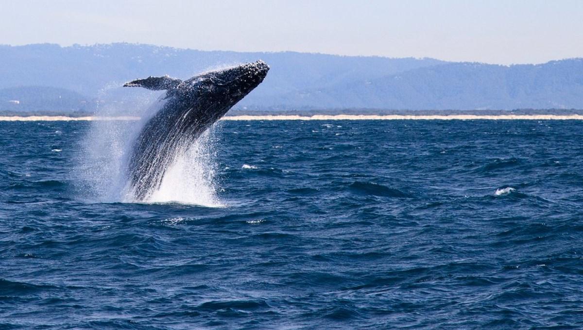 Faroe Adaları'ndaki 'festivalde' bin 500'e yakın balina ve yunus katledildi