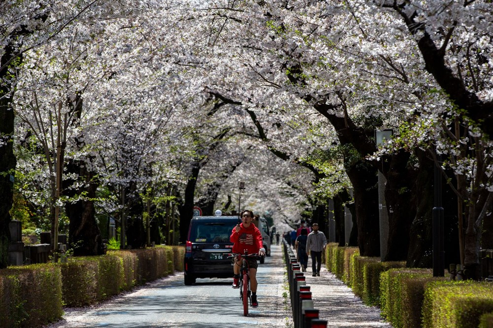 Sakura çiçekleri son bin 200 yıldır bu kadar erken açmadı: İklim değişikliği nedeniyle ekosistemler çökme noktasında - 6