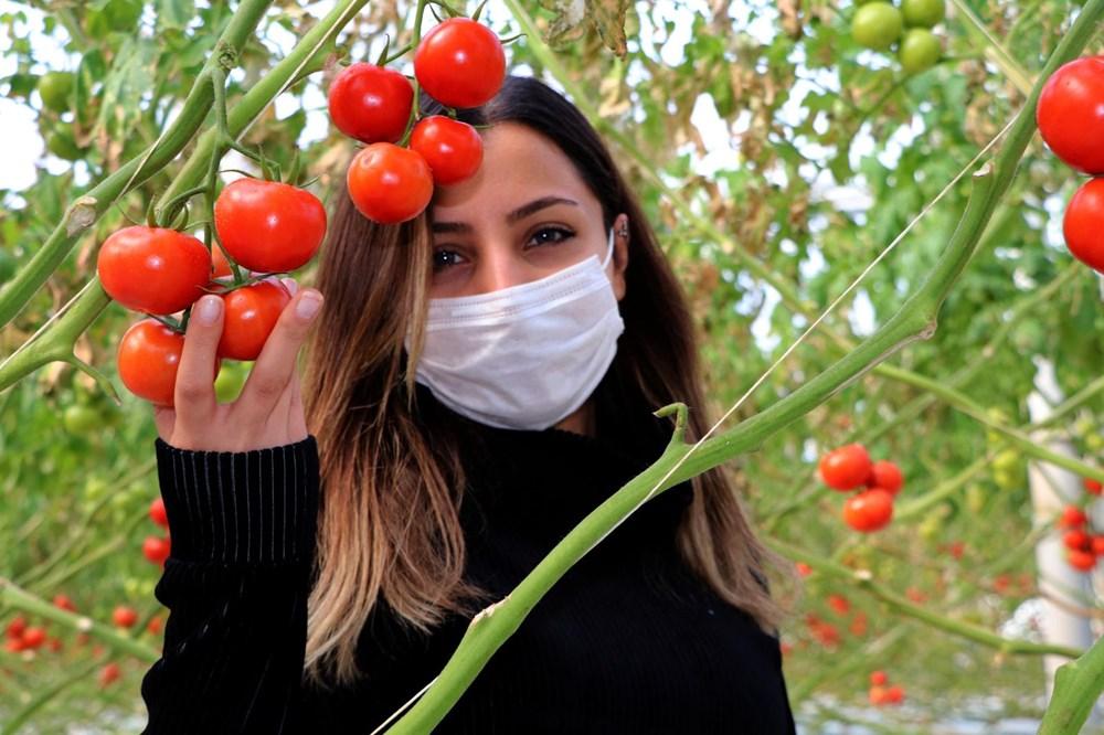 Hava sıcaklığının eksi 40'a kadar düştüğü Çaldıran'da, serada domates üretimi - 1