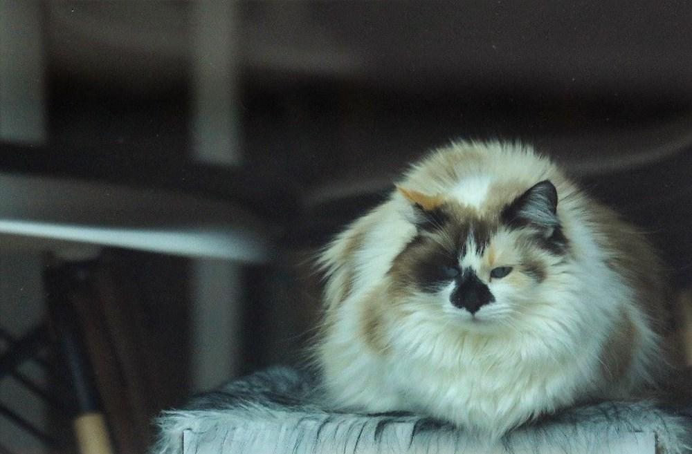 Araştırma: Karantina nedeniyle kediler insanlardan bıktı, sakinleştirici kullanıyorlar - 7