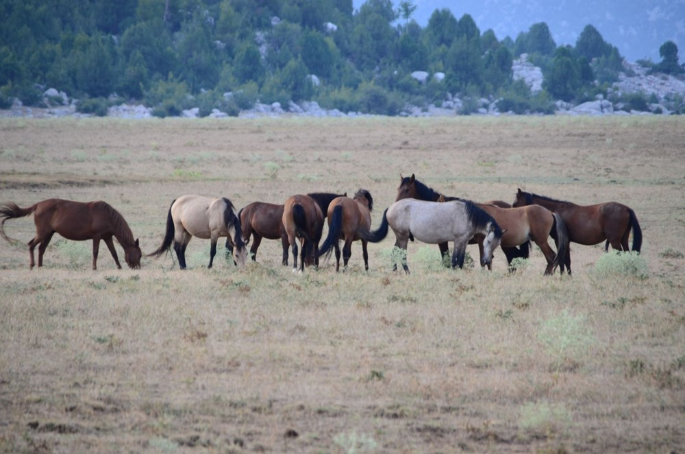 Soyları Osmanlı süvari birliğine dayanıyor! Torosların vahşi güzelliği 'Yılkı atları' - 23