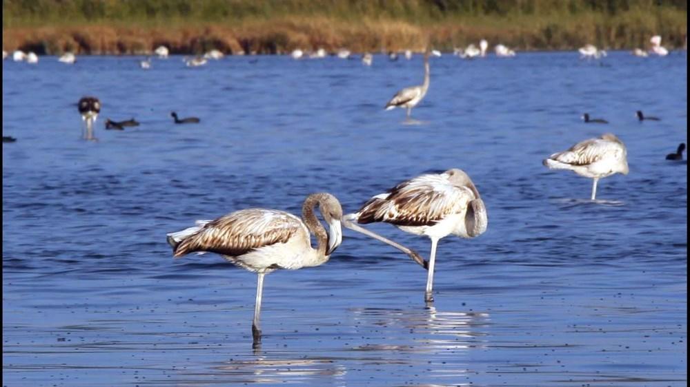 Van Gölü'nde flamingo şöleni - 8