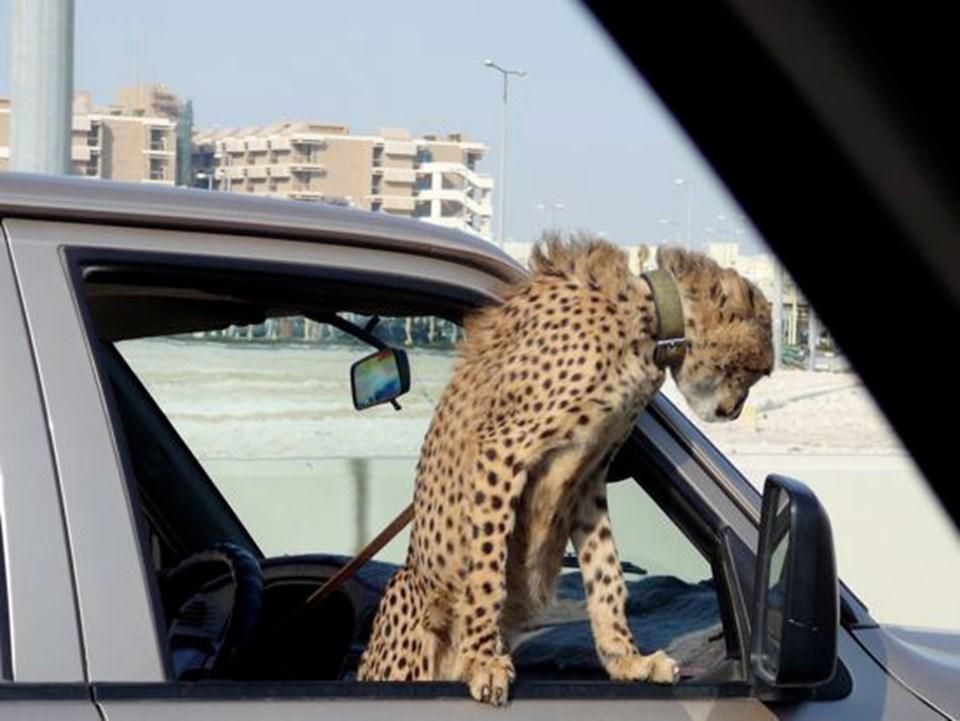 Katar'ın başkenti Doha'da tasma taktığı çitasıyla gezen bir sürücü.