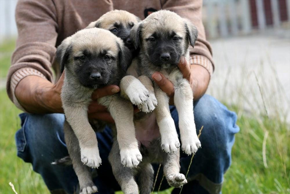 Sivas Kangal köpeklerinin genetiği çiple korunuyor - 10