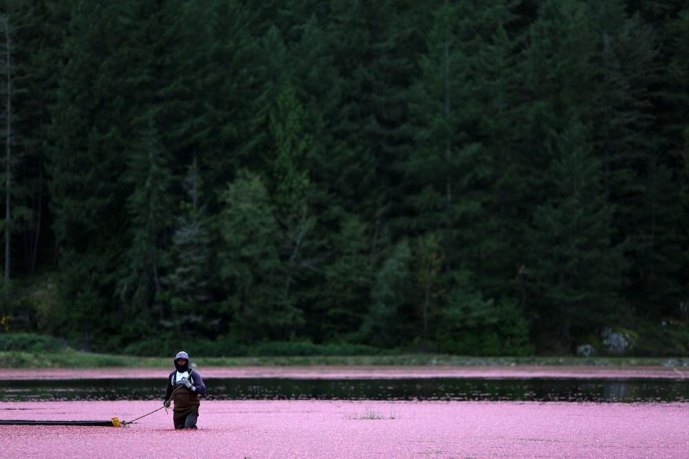 Kanada'da kızılcık hasadı - 16