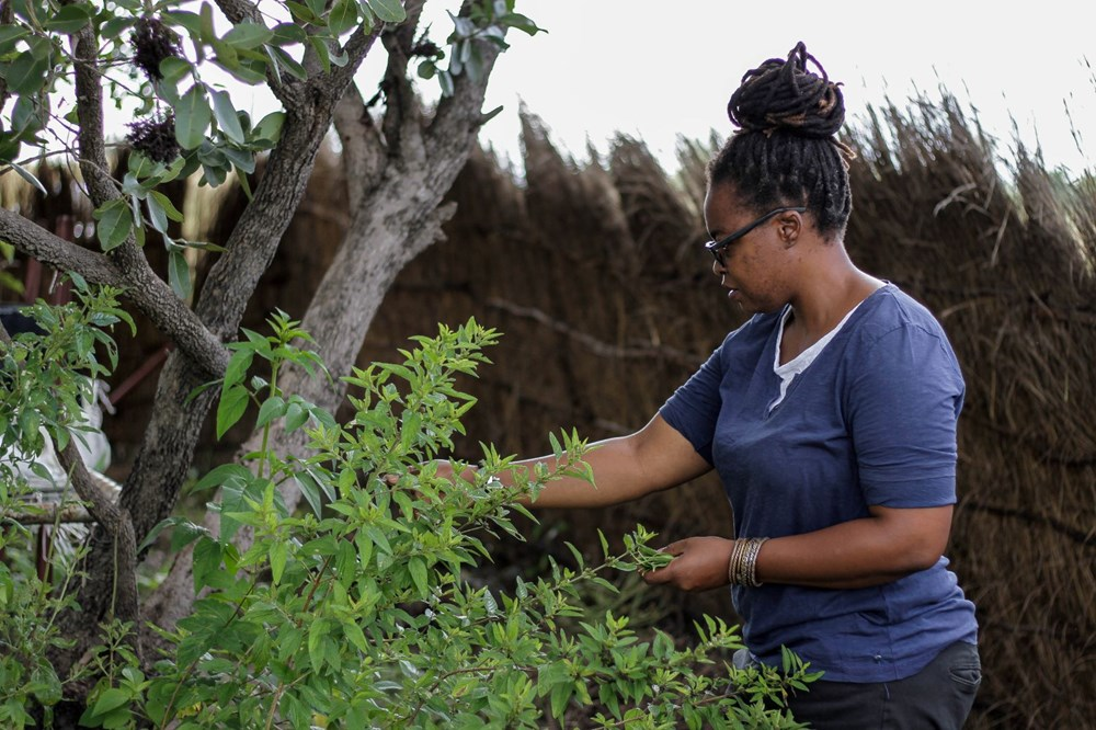 The plant that the African country hopes for, Zumbani: If we didn't use it, we would be dead - 5