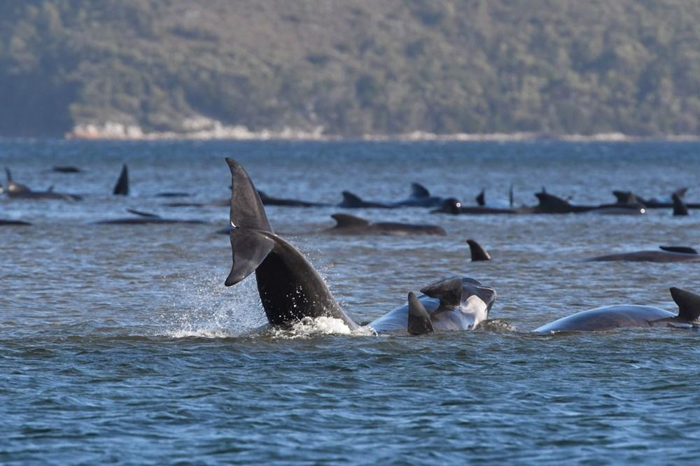 Avustralya'da sığ sularda mahsur kalan balinalardan en az 90'ı öldü - 7