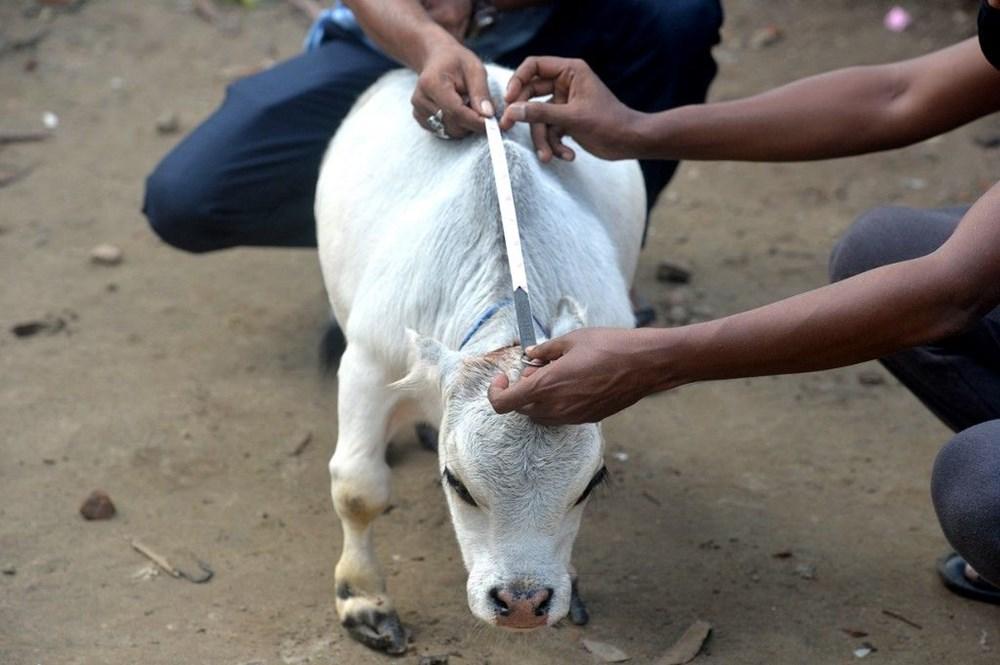 Binlerce kişi cüce ineği görmek için akın etti: Halk sağlığını tehdit ediyor - 2
