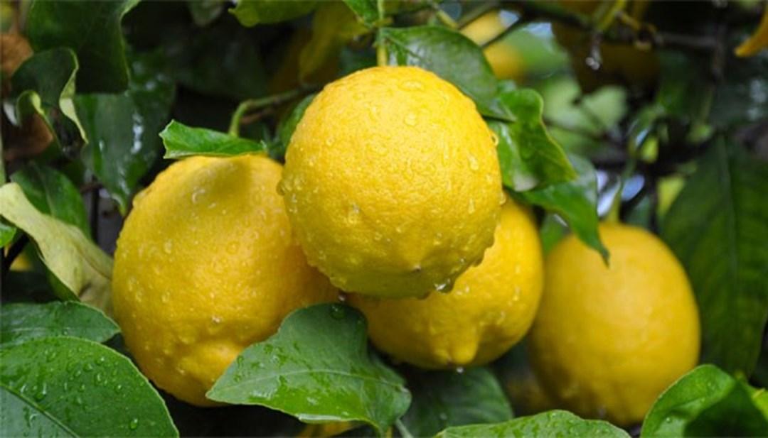 Mayısta en çok limonun fiyatı arttı thumbnail
